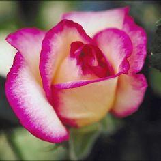 "77 Likes, 4 Comments - natureflowers (@natureflowers13) on Instagram: ""#flowers #pinkrose #flower_beauties_ #lovingnature #picoftheday"""