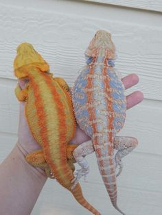 Feeding Bearded Dragons Here at DubiaRoaches.online we provide quality feeder insects at great prices and unmatched customer service, to keep your pets in the best nutritional health possible. Pretty Animals, Cute Little Animals, Cute Funny Animals, Animals Beautiful, Bearded Dragon Colors, Bearded Dragon Food, Cute Reptiles, Reptiles And Amphibians, Reptile Room