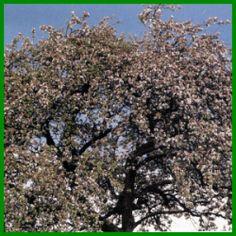 Obstbäume für den eigenen Garten City Photo, Form, Outdoor, Kitchen, Cherry Tree, Apple Tree, Shade Perennials, Garten, Nice Asses