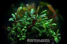 Bucephalandra FAKE CATHERINAE : Beauty small plants, with a long and curly leaves. Leaves are redish at outerside, about 3mm width and 30mm long. Redish stems.