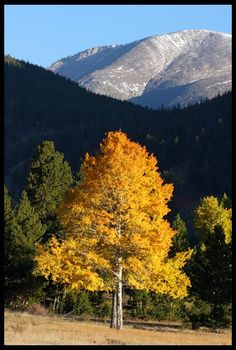 "Visual #BibleVerseoftheDay: Job 37:22-23 and Fall Aspens, Rocky Mountain National Park, Colorado.  ""Out of the north He comes in golden splendor…""  Share this and bless others. https://visualverse.thecreationspeaks.com/awesome-majesty-and-golden-splendor/"