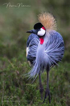 Animal Photography — Grey Crowned Crane