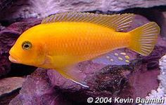 "Metriaclima estherae (red zebra) - ~5"" mbuna, females all orange, males orange or powder blue"