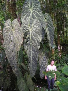 Wow this is so inspiring its blown my mind.a 50 year old Anthurium!Lol Anth metalicum known as Mouldy Old Leaf.Finca Dracula inside a cauldera in Ecuador at Unusual Plants, Rare Plants, Exotic Plants, Cool Plants, Exotic Flowers, Tropical Landscaping, Tropical Garden, Tropical Plants, Begonia