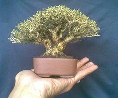 Bonsai Art, Bonsai Plants, Bonsai Trees, Dwarf Trees, Mini Bonsai, Miniature Trees, How To Dry Basil, Minis, Miniatures