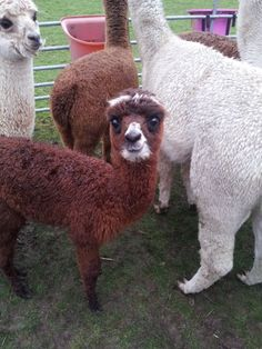 The very very cute Shrek coming to live at Little White Alice Spring 2014 when he will be big enough to leave his Mammey.