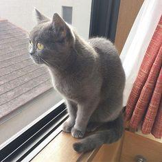 #あんちゃん#スコティッシュフォールド#窓際猫#横顔#毛並み#猫#溺愛#愛猫#ねこ部#ぬこ#cat#instacat#catgram#mysweet#gatto#gato#chat#Katze#고양이#scottishfold#curtain#graycat#silvercat#watching