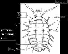 the flowers we and pills on pinterest : pill bug diagram - findchart.co