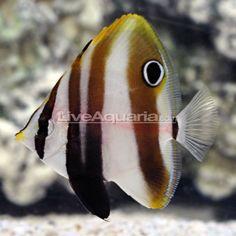 Hi Fin Coradion Butterflyfish (Coradion altivelis) Marine Aquarium Fish, Ocean Aquarium, Marine Fish, Fish Tanks, Beautiful Fish, Sea Fish, Exotic Fish, Sea World, Ocean Life