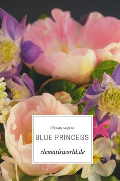 Learn more about the clematis alpine Blue Princess