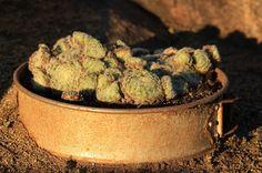 Sempervivum arachnoideum Sprouts, Perennials, Colorful, Vegetables, Food, Essen, Vegetable Recipes, Meals, Perennial
