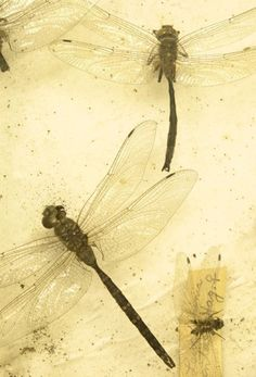 """dragonflies.  When I was a child in Charleston, SC, these little beauties were called """"MOSQUITO HAWKS"""".  They would light on my fingers when I would help my mom take the clothes off the line.  Great memories..."""