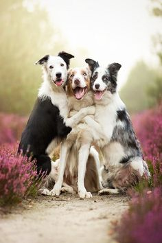 border collie trio cuteness overload | animals + pet photography #dogs