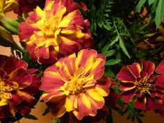 Lovely variegated Tagetes and a great post at http://www.bubblews.com/news/2254702-my-expressive-words-words-in-english-and-spanish-that-are-similar-list-29 Read more