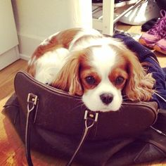 Barkley - Hi pawfriends: Why not make it even harder for your mummies to go work on a Monday morning... Get in a bag and look really sad!