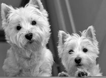 How can you not enjoy westies?