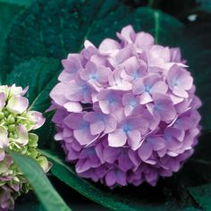 Endless Summer Hydrangea - buy seeds
