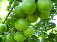 Erik ve Eriğin Faydaları  Doğal antioksidandır. Kilo vemek isteyenler veya diyet programı uygulayanlar için idealdir. Kan şekerini dengeler. Kabızlığı önleyici özelliği vardır. Devamı için.. http://bitkiyografi.com/erik-ve-erigin-faydalari-2/