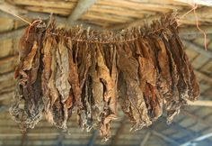 Buy Tobacco Leaves Are Dried On A Rope Under The Roof Of The Cigar Factory In The Dominican Republic by tandemich on PhotoDune. Tobacco Leaves Are Dried On A Rope Under The Roof Of The Cigar Factory In The Dominican Republic Cigar Humidor, Dominican Republic, Leaves, Scotch, Cuba, Primitive, Roots, Theater, Coffee