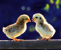 What are these chicks chatting about?