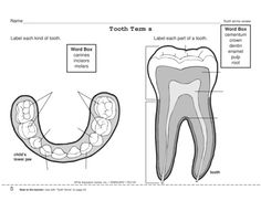 Perfect for Dental Health Month, a worksheet that requires students to label diagrams of teeth. Tooth terms are included. Dental Hygiene School, Dental Assistant, Science Worksheets, Kindergarten Worksheets, Science Resources, Dental Health Month, Loose Tooth, Health Activities, Healthy Teeth