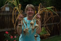 This is me with some of my 2014 garlic harvest. I'm holding Music and Chesnok Red varieties - they grew huge! They shrank some while they were curing, but they're still big.