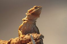 #bearded dragon #lizard #pet #reptile
