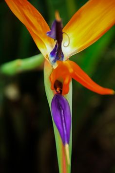 Bird of paradise flower by Nalin Agarwal on 500px  www.facebook.com/iseeknirvana