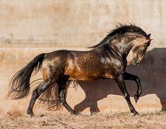 "Polubienia: 2,061, komentarze: 22 – Horses Mad (@horses.mad) na Instagramie: ""PRE stallion -- Photo credit : @katarzyna_photo_equine -- #horselovers #horseaddict #horserider…"""