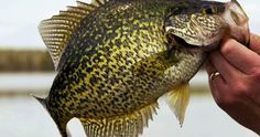 Summer Crappie Locations And Tactics - UD FishingTackle #CRAPPIE #TIPS #SUMMER #TACKLE
