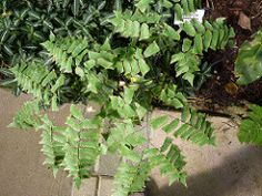 Adiantum trapeziforme Maidenhair Fern, Herbs, Plants, Herb, Plant, Planets, Medicinal Plants