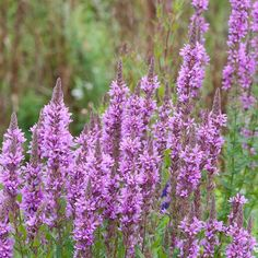 Commonly found in moist meadows and wetland areas, the stunning upright purple spikes of flowers that last throughout the summer will attract bumblebees, bees and butterflies to your garden. Wild bees and other pollinators are in decline. Purple Loosestrife, Wild Bees, Lawn Fertilizer, Lawn Care, Compost, Garden Plants, Gardening Tips, Wild Flowers, Beautiful Flowers