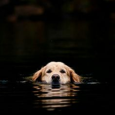 dogs Okay this is adorable i love golden retrievers adorable! My dogs Love My Dog, Baby Dogs, Pet Dogs, Dog Cat, Doggies, Pet Pet, Cute Puppies, Dogs And Puppies, Adorable Dogs