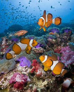 "Clownfish, damselfish, or the ""Nemo"" fish, live among sea anemones, which the fish use as a place to hide from predators."