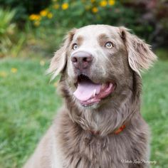 This is Cookie a 3 yr old Golden Retriever/Chesapeake Bay Retriever mix. She was an owner surrender due to pulling on the leash when walking. She is spayed, current on vaccinations, potty trained, good with dogs and older kids. She prefers a quiet house. Furever Angels of Charlotte Monroe, NC. http://fureverangelsanimalrescue.com/AvailableDogs - - https://www.facebook.com/pages/Furever-Angels-Animal-Rescue-of-Charlotte/103871083004154 - https://www.petfinder.com/petdetail/30262482