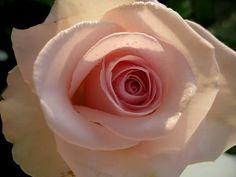Indian Flower  rose