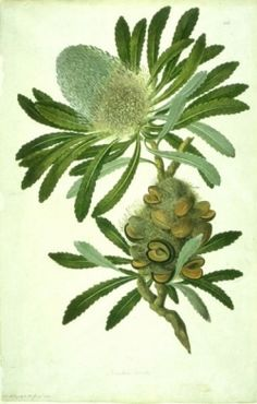 Sydney Parkinson was one of the botanical artists on Captain Cook's journey's on the Endeavour. He was the first botanical artist to draw and...