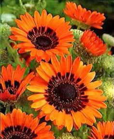 ORANGE Cape Daisy Seeds  Produces masses of vibrant orange sunflower-like blooms above silky silvery-green foliage. Blooms over an extended summer and fall season. Stunning when mass planted and is an excellent cut flower. Grows to 2 feet tall.