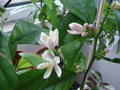 Cum trebuie plantat si ingrijit un lamai - pas cu pas Fruit Trees, Grape Vines, Bonsai, Gardening, Decor, Beautiful Landscapes, Plant, Flowers, Decoration