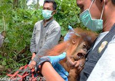 A rescue team from the Orangutan Information Centre in Sumatra, Indonesia, evacuated a mother orangutan and her baby from condemned forests that are about to be bulldozed. The photos below show the reality of orangutan protection. These orangutans are amongst the 'lucky' ones, thanks to the amazing work of this rescue team.