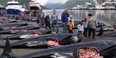 PETITION PLEASE SIGN & SHARE!! STOP THIS HORRIFIC KILLING, ITS DISGUSTING!!! Stop the Faroe Island Whale Slaughter