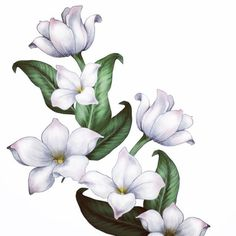 jasmine flower drawings Gallery