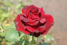 King Edward | Ludwigs Roses : Large, unfading red-velvet blooms of perfect symmetrical, pyramid exhibition shape are borne in profusion on a neat, compact, very vigorous bush. The blooms are long lasting on the bush or in the vase. Ideal for containers.