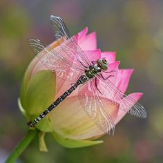 A dragonfly perched on a lotus flower.