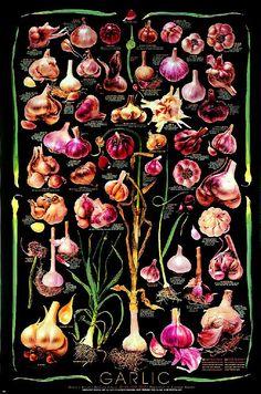 Black Background Garlic Varieties Poster