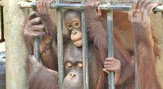 """""""O GRITO DO BICHO"""": Tailândia devolve à Indonésia orangotango traficad..."""