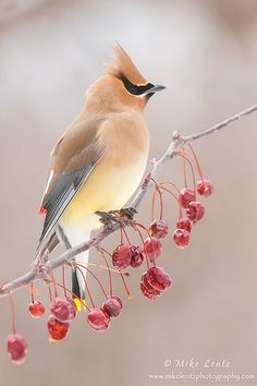 The cedar waxwing is a member of the family Bombycillidae or waxwing family of passerine birds. It is a med sized, mostly brown, gray & yellow bird named for its wax-like wing tips. It is a native of North & Central America, breeding in open wooded areas in southern Canada & wintering in the southern half of the US, Central America & the far NW of South America. Its diet includes cedar cones, fruit & insects.
