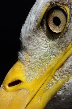 Bald Eagle Face close up by cycoze.deviantart.com on @deviantART