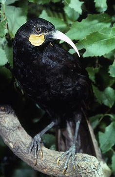 New Zealand Huia photographs. This bird is now extinct for more clickthisway Extinct Birds, Extinct Animals, Reptiles And Amphibians, Mammals, Wild Creatures, Prehistoric Creatures, Beautiful Birds, Beautiful Creatures, Pet Birds