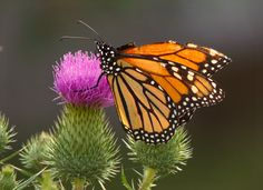https://flic.kr/p/XmAhHr | Monarch Butterfly | On Thistle